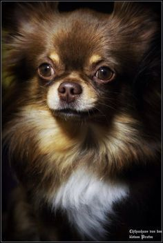 Chihuahua~beautiful long haired