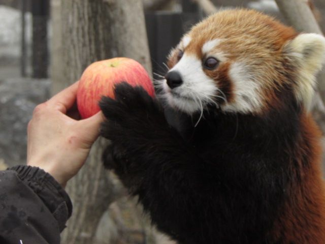 Apple for a Red Panda - endangered list as there are less than 10,000 of them in the wild.