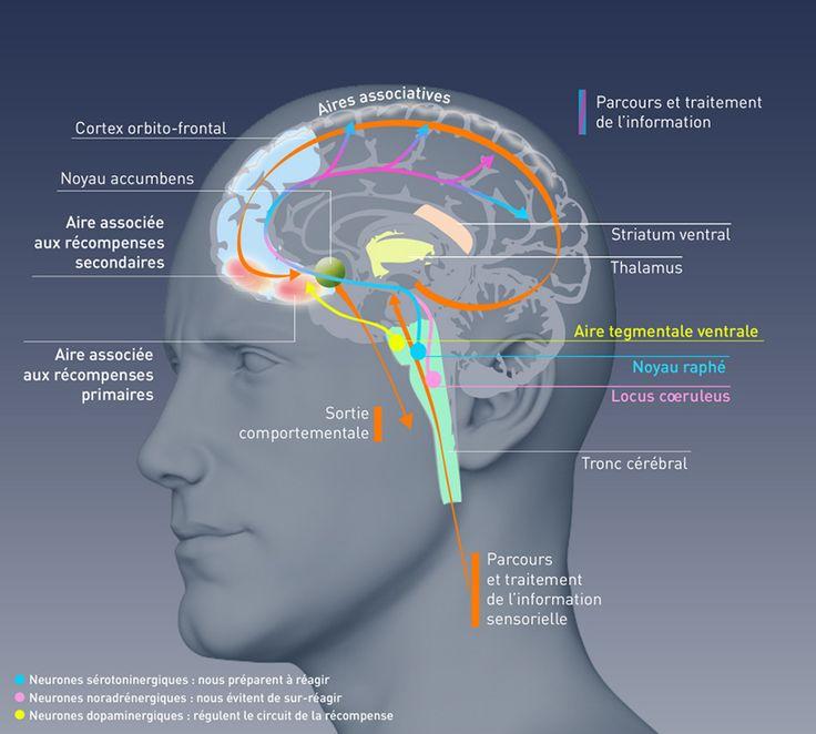 Les addictions sont des pathologies cérébrales
