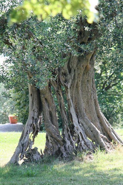 Very old Olive tree @ #PoggioLeone in #CastiglioneDelLago #italianjourney