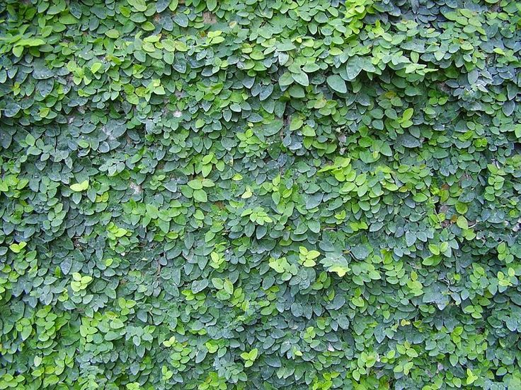 Creeping fig (Ficus pumila) on archery meadow concrete wall