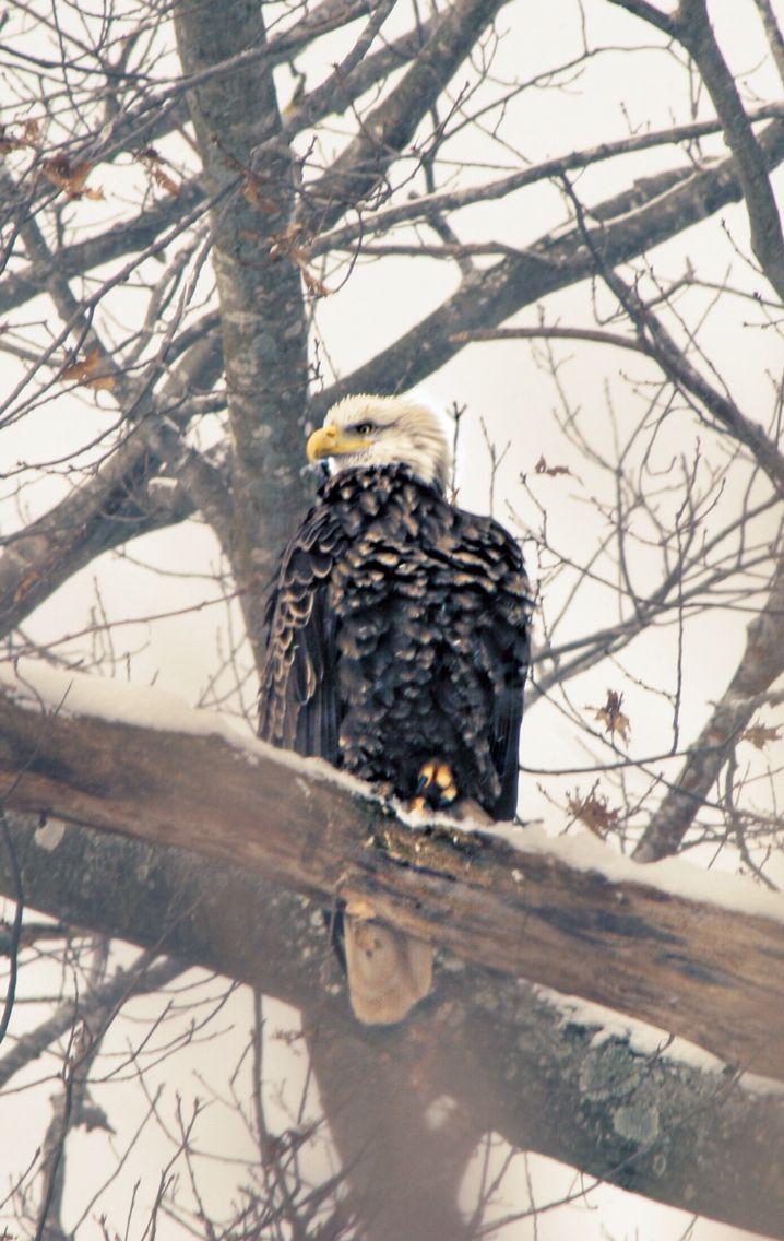Bald eagle  Nova Scotia