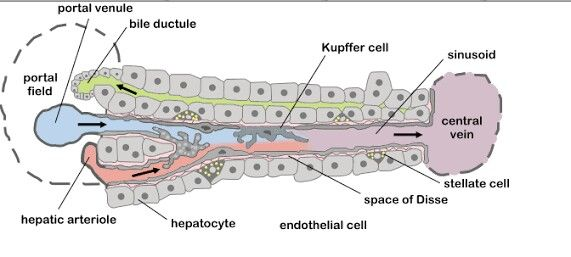 Space Of Disse In Liver Histology Liver Anatomy border=