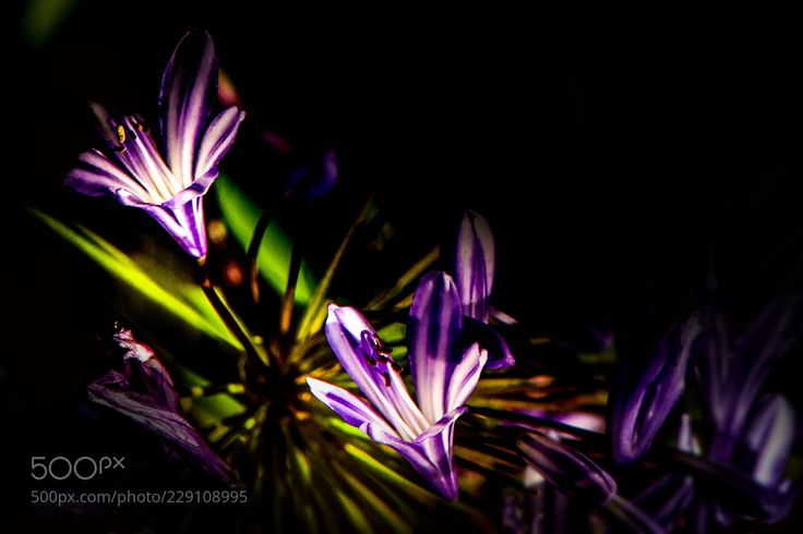 Agapanthus in dappled light (Rajesh Munglani / Cambridge / United Kingdom) #ILCA-77M2 #macro #photo #insect #nature