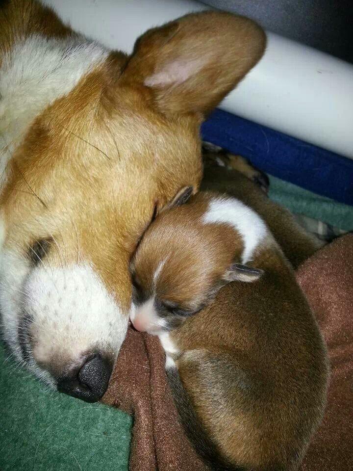 Awww, corgi mom and puppy