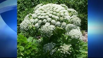 Health officials in Calhoun County, Michigan, are advising caution after the dangerous giant hogweed plant was spotted in the county.