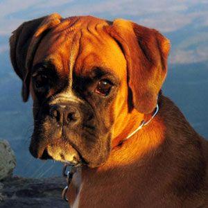 Cães raça Boxer                                                                                                                                                                                 Mais