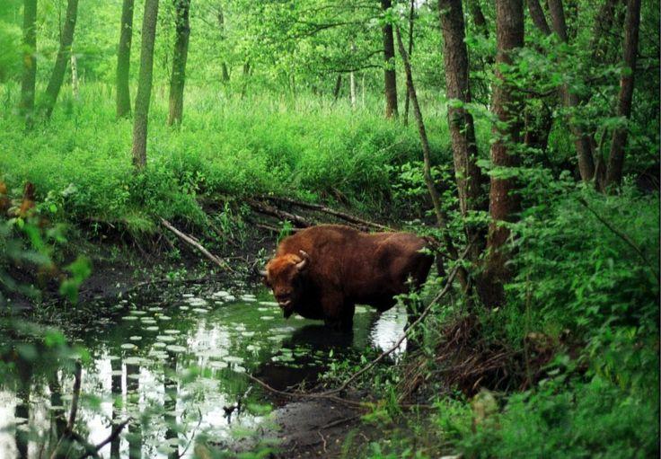 Puszcza Białowieska / Symbolem Tatr jest niedźwiedź, Bieszczad - wilk, Biebrzy - batalion, za to w Puszczy Białowieskiej niepodzielnie króluje żubr. Białowieski Park Narodowy zamieszkują również rysie, wilki, jelenie, sowy i wiele innych wspaniałych gatunków zwierząt, często zagrożonych. Także różnorodność flory jest imponująca - Puszczę Białowieską porastają rośliny rzadkie i chronione oraz masywne, wiekowe drzewa. Puszcza leży w widłach Narwi i Bugu na terenie Polski i Białorusi; otoczona…