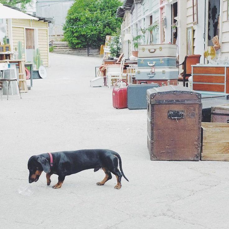 Dachshund #dog #daschund #mercantic #vscocam #Fujifilm #fujifilm_xseries #x100 by carlcaesar