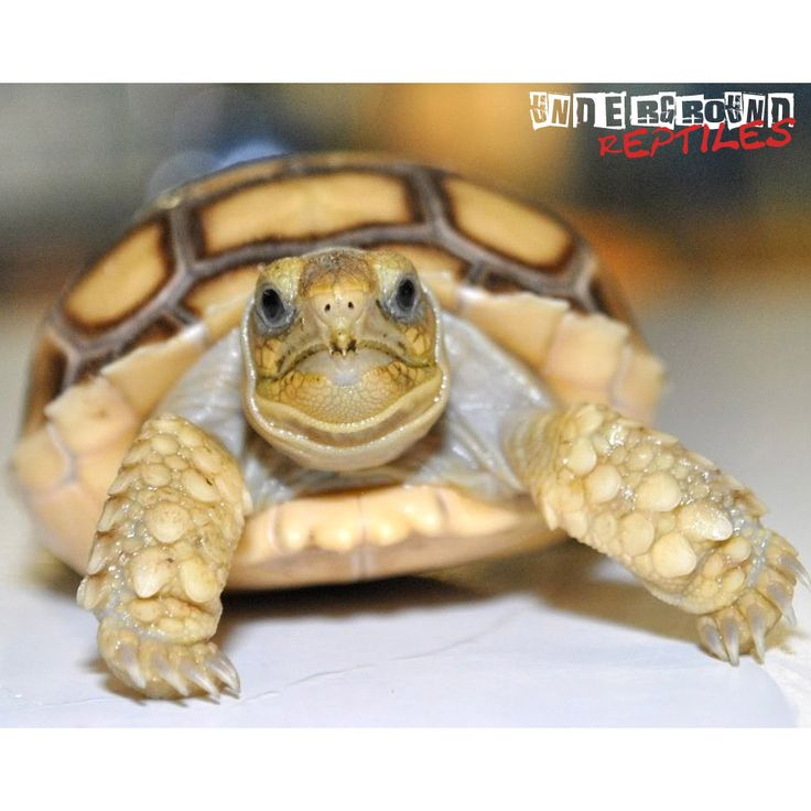 Beautiful Baby Sulcata Tortoises for sale at Underground Reptiles. Ships Priority Overnight. Live Arrival Guaranteed.