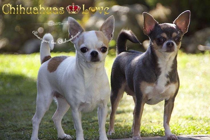 diferentes tipos de chihuahuas