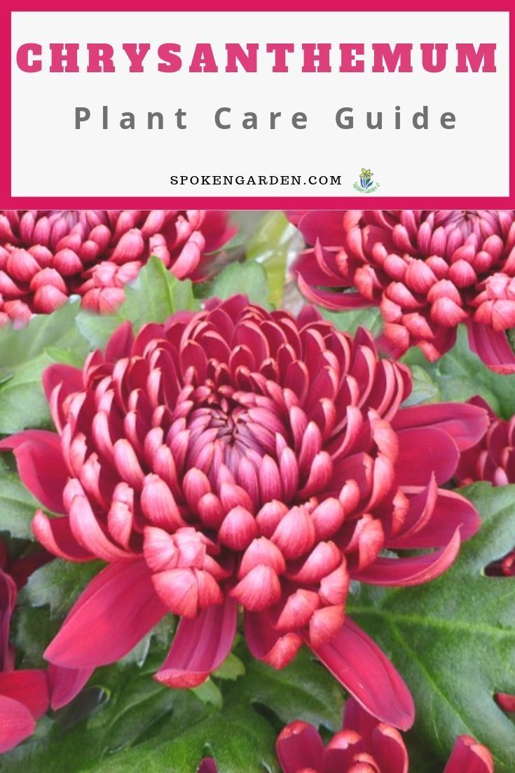Chrysanthemums A Gardener S Guide And Plant Profile Chrysanthemum Plant Plants Chrysanthemum Care