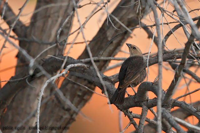 mis fotos de aves: Tordo cuco [Molothrus ater] Brown-headed cowbird