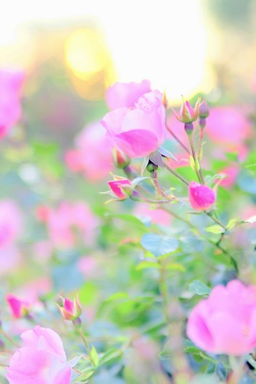 Pink Flower, Spring Flower, Rose Flower, Soft Pink, Beautiful, Gardens, Pink Rose, Sweets Peas, Flower Photography