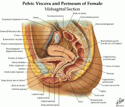 Dentistry and Medicine: Urinary System and Male and Female Genital Systems Anatomy and Physiology Diagrams Free Download