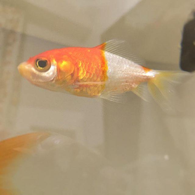 【anone.s】さんのInstagramをピンしています。 《病気で薬浴中だったあかねさん。 実はお星様になりました🌟  お迎えして1年程度と短い間でしたがいつもマイペースなあかねさんから元気もらってました。 今までありがとう✨  オリーブの木の根元でゆっくり休んでね。  #金魚#きんぎょ#水槽#アクアリウム#金魚水槽#魚#ペット #goldfish#goldfishtank#goldfishunion #goldfishjunkie#GoldfishofInstagram #fancygoldfish#aquarium#fish#pet#お別れ#ありがとう》