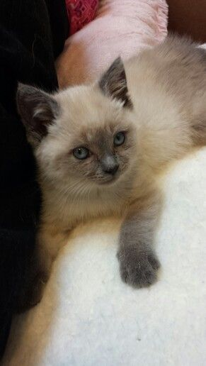 Violet. Our 6 week old blue point siamese kitten.