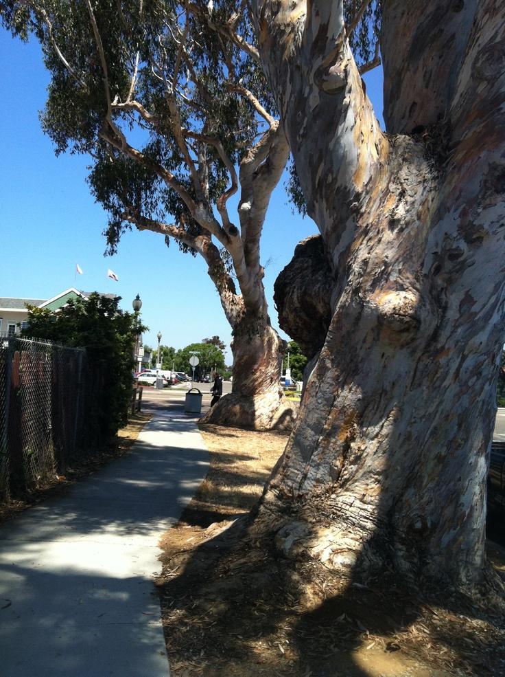 Eucalyptus trees Carlsbad, CA. | Plants & Flowers ...