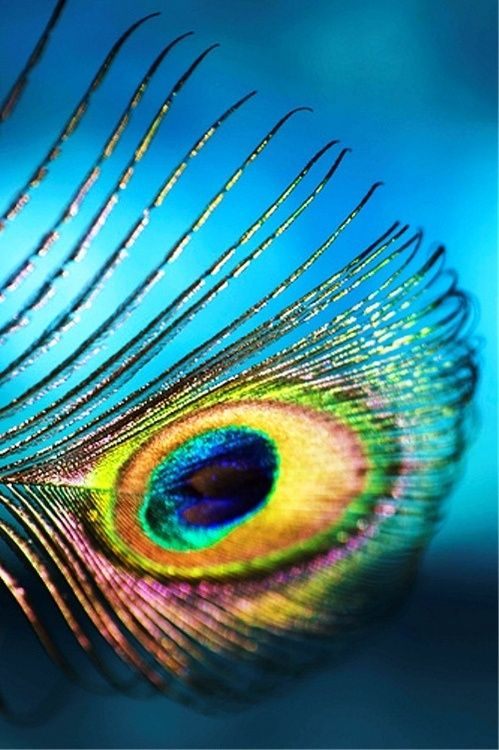 Beautiful Peacock feather Love Moments
