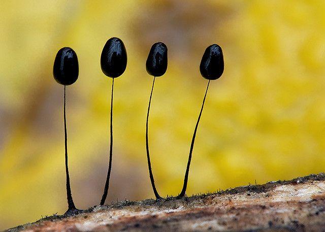 Comatricha nigra   Flickr - Photo Sharing!