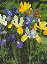 Resultat d'imatges de fiori da bulbo