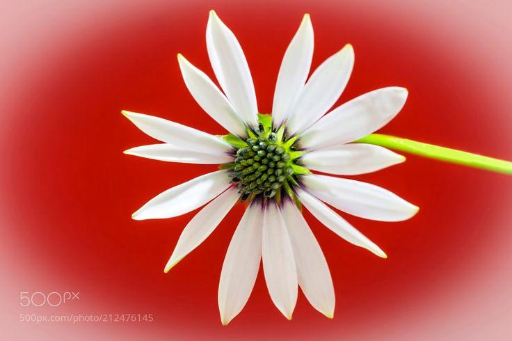 African daisy Osteospermum... - Bodrum Papatyasını Tohumdan yetiştirmek biraz zahmetlidir. Çiçekleri papatyaya benzer. Bu çiçeklerin renkleri mavi mor pembe san ya da krem olabilir. Yaprakları mızraksıdır. Bazı türlerinin kenarları düz bazıları tırtıklıdır. Tohumlarını ekmek için en uygun dönem mart ayıdır. Ekimi kapalı ve ılık bir yerde yapın. Fideden yetiştirmek daha kolaydır.
