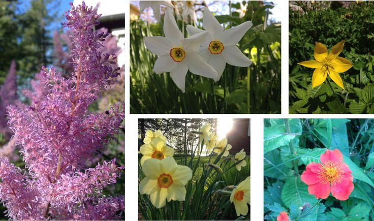 From my garden. Puutarhassani. flower, kukka, lilja, garden, puutarha