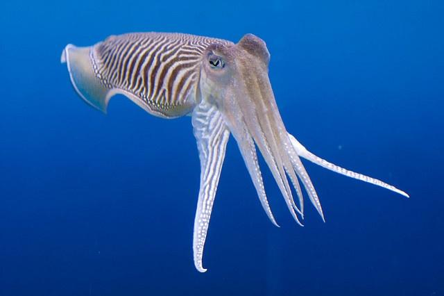 Common Cuttlefish at Barcelona aquarium - Sebastian Niedlich