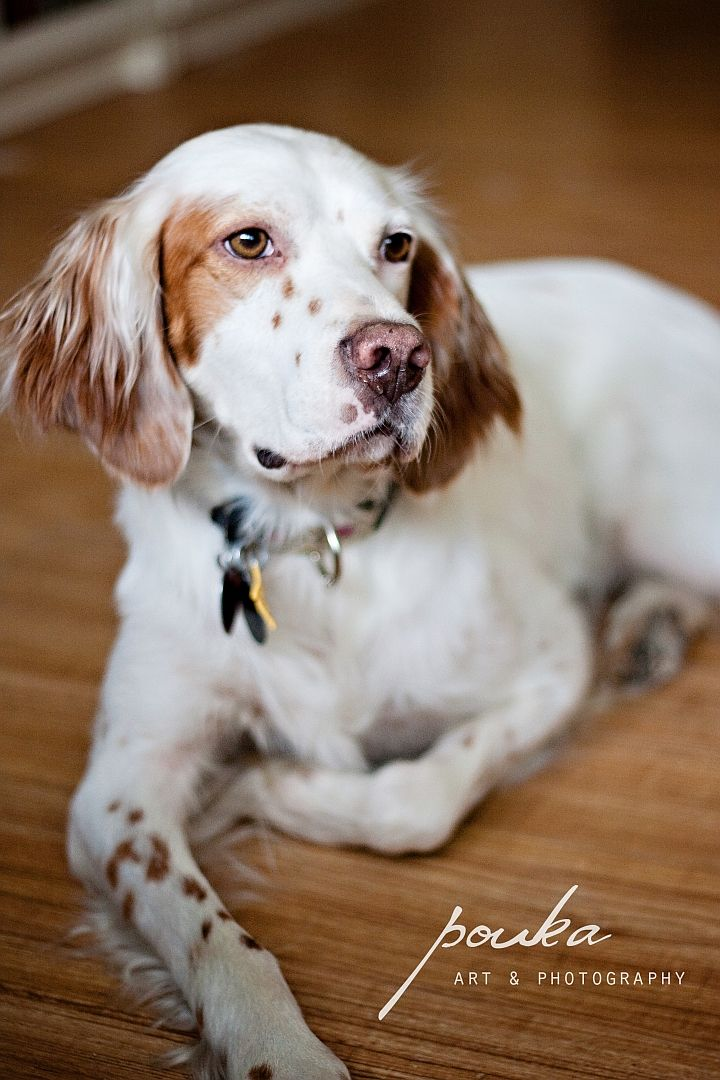 English Setter. Sebastian. Pet photography portrait.