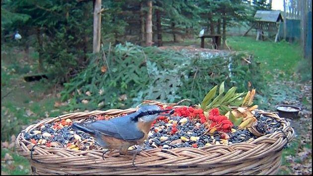 Vyvěšujete v zimě ptačí krmítka a sledujete, kolik druhů ptáků se přiletí nakrmit? Zcela jistě jich nebude padesát jako v záchranné stanici Makov na Písecku. Krmítko tu sledují on-line kamerou už sedm let, za tu dobu si na ni ptáci naprosto zvykli. Nyní se na ně můžete podívat i vy díky přenosu na Slow TV.