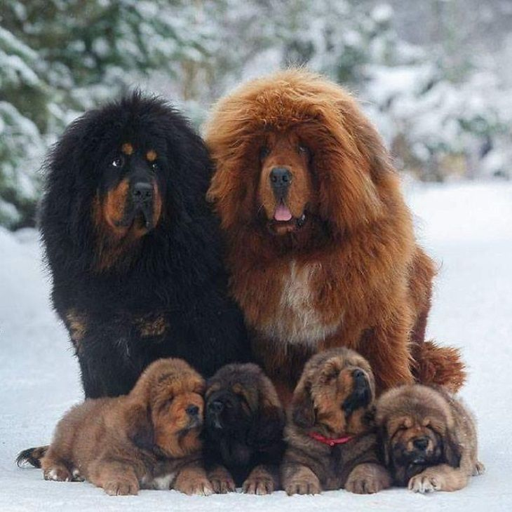 Adorable pictures of tibetan mastiffs cute overload