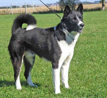 Karelian Bear Dog - Would need to grow up with kids as a puppy. Fewer grooming needs but needs a lot of space and training. Good size and color.