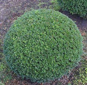 ilex crenata stokes - toutes petites feuilles persistantes et coriaces vert foncé. Le mien est une demie-sphère de 20 cm de large, dans un pot. Aucune maladie, au soleil du matin uniquement. Croissance ULTRA ULTRA lente mais, du coup, ne nécessite aucun entretien. Dommage qu'il ne pousse pas un pouce plus vite sinon il aurait parfaitement pu remplacer mes boules de buis malades...