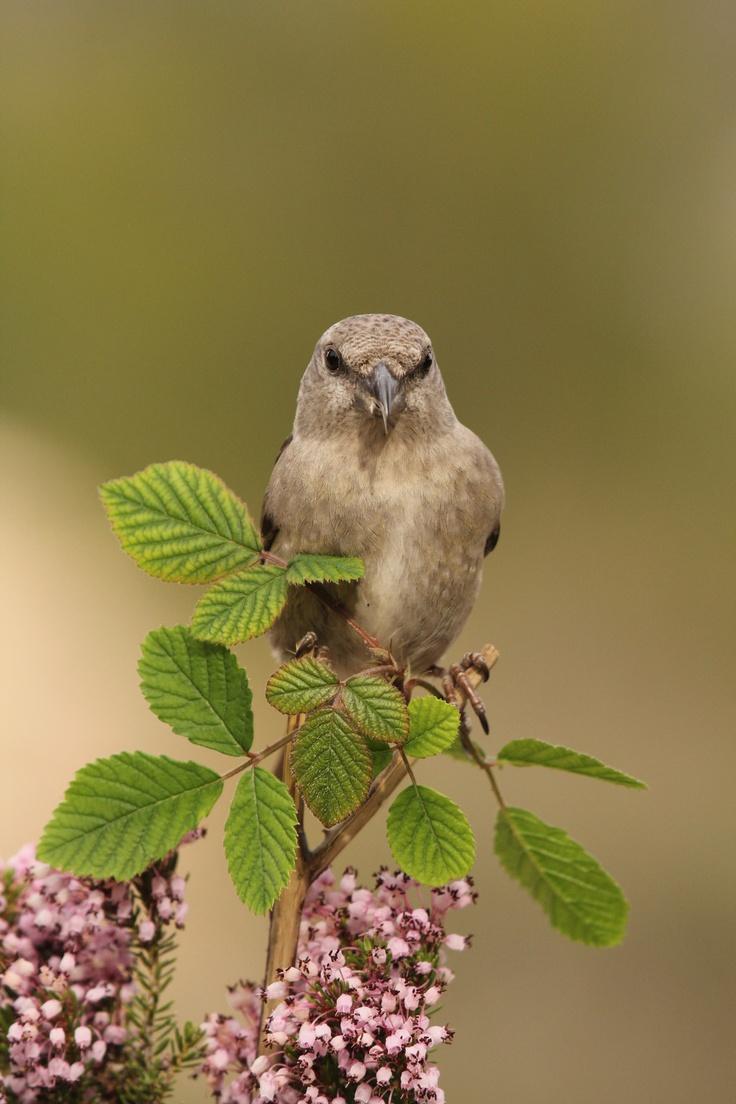 Piquituerto en Gredos. Observación de aves