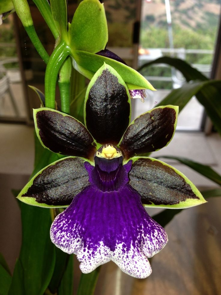 Zygopetalum - Aussie Trance complete with black petals and a purple and white tongue.