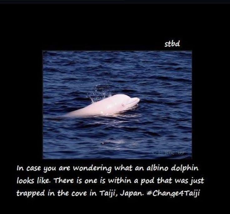Angel, az albínó delfin és családjának a kálváriája, illetve kapcsolatuk a delfináriumokkal. Cikk linke: http://bit.ly/2ronxRN