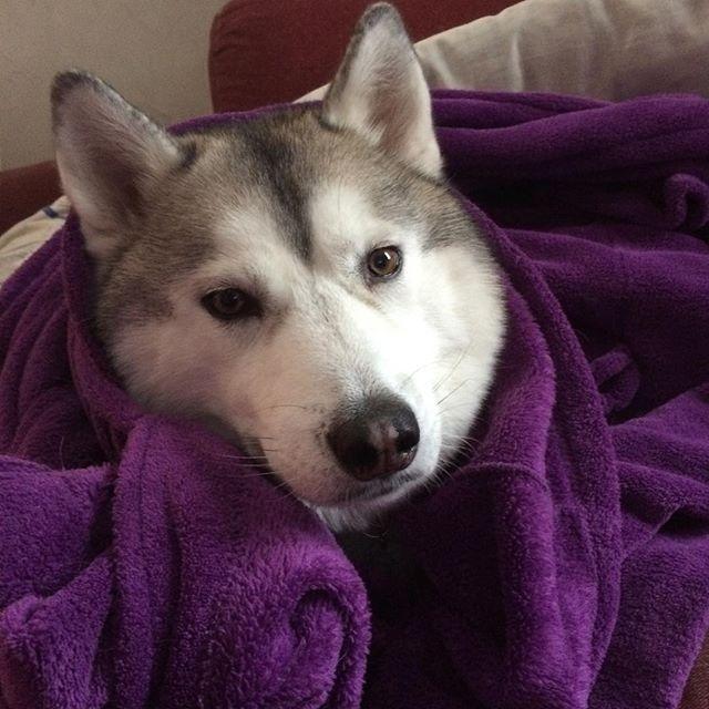 171 best Siberian Husky images on Pinterest