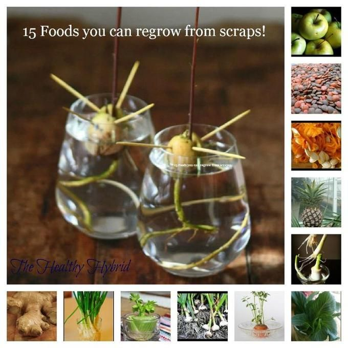15 Foods to Regrow From Scraps! More seed starting ideas here: http://pinterest.com/offgridhome/seed-starting-saving/ #garden #gardening