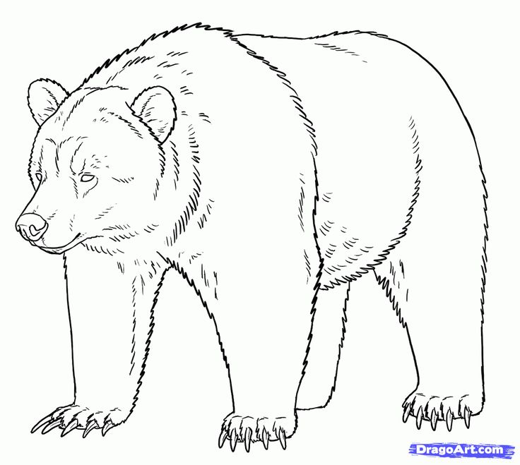 grizzly bear illustration how to draw grizzly bears step 15 grizzly bear enemy