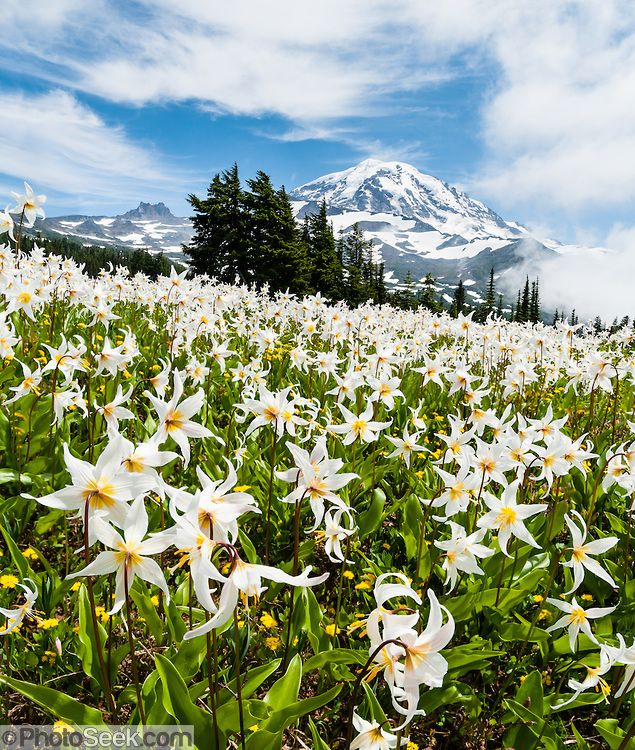 White Avalanche Lily flowers bloom, Spray Park, Mount Rainier ...