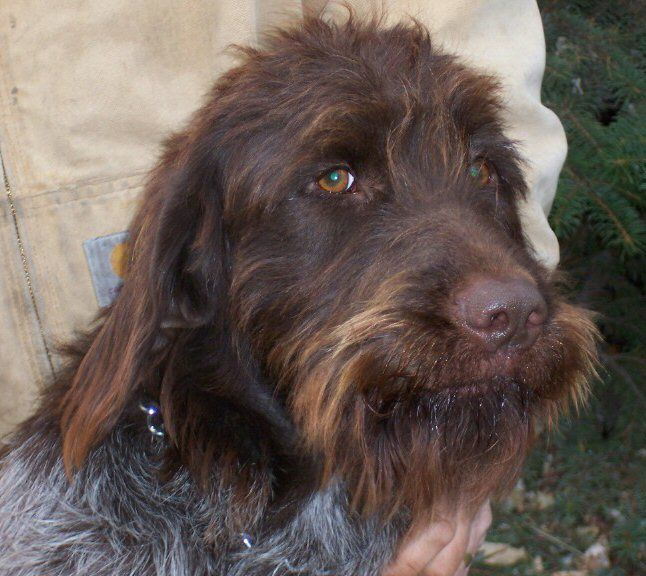 German Wirehaired Pointer History Pointing Griffon | ......