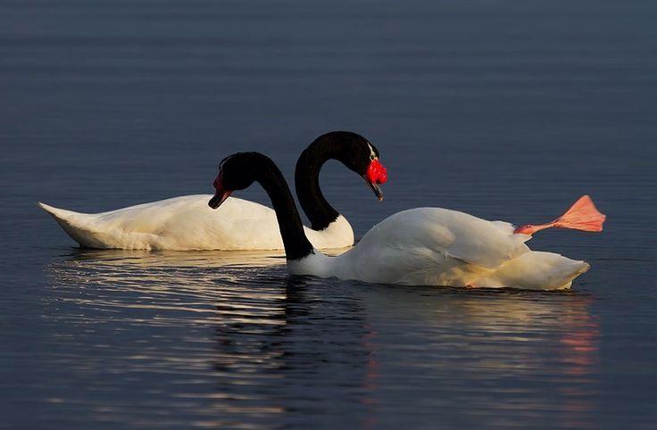 cisne de cuello negro, patagonia