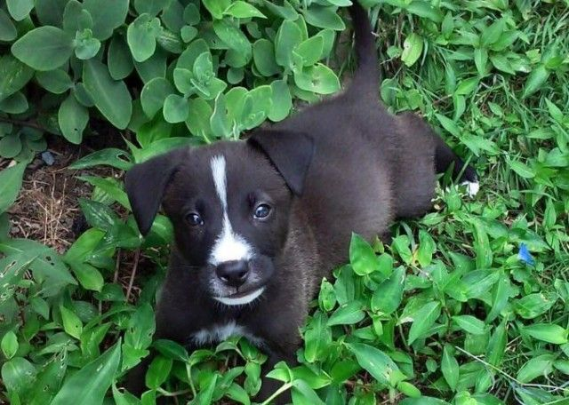 Boxer Lab Mix Puppy