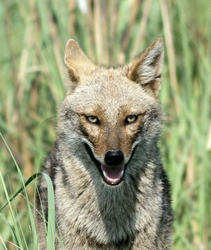 Image result for jackal wild face