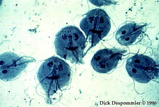 my favorite protozoa..Giardia lamblia...morphologically that is..bunch of little smiling faces but dont be fooled by their cuteness..they can cause some serious damage..