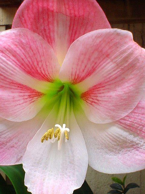 17 best images about flower amaryllis epiphyllum on for Amarilis decoration