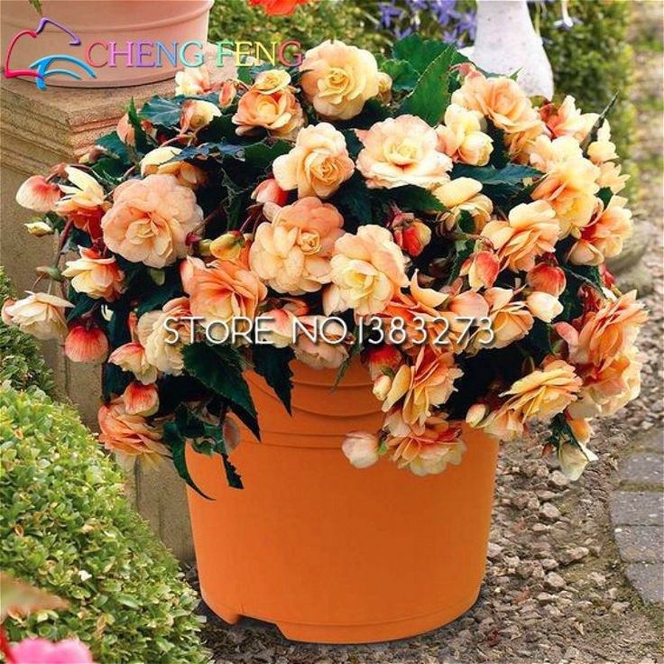 100 Pcs Begonia Seeds Malus Spectabilis Potted Flower Seed For Garden Bonsai Diy Plant Sementes Happy New Year Send Rose Gift