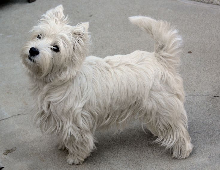 westie highland terrier average size and weight - Google Search