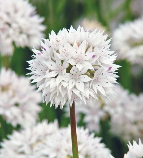 Along with 'Silverspring', this is the best of the white and showy alliums, with huge starry flowers, each one with a pretty pink stripe at its heart.
