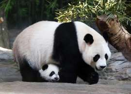 A new survey by China's State Forestry Administration indicates that the wild giant panda population has grown to 1,864, representing an increase of 268 pandas since 2003. The number of giant pandas in captivity also doubled.